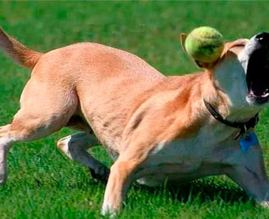 dog fails to catch ball
