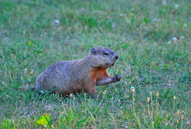Groundhog in grass